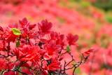 徳仙丈山のツツジ。気仙沼 宮城 日本。5月下旬。