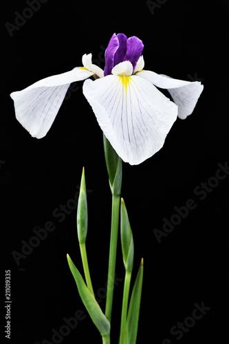 Fotobehang Iris 黒背景の菖蒲