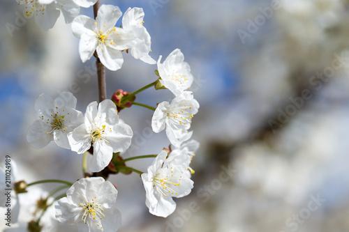 Fototapeta Blossom tree over nature background