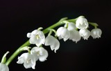 branch of flowering Lily of the valley, macro