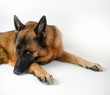 Quadro Portrait of adult German Shepherd, 5 years old, in front of white background