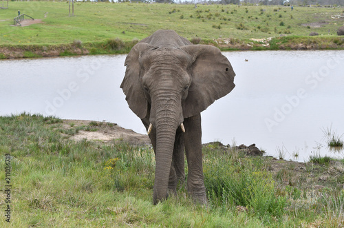 Fototapeta Eléphant - Afrique du sud
