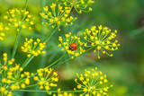 Flower dill spices growing in the garden. - 211037337
