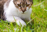 A young cat lies on the grass, rests and plays - 211037514