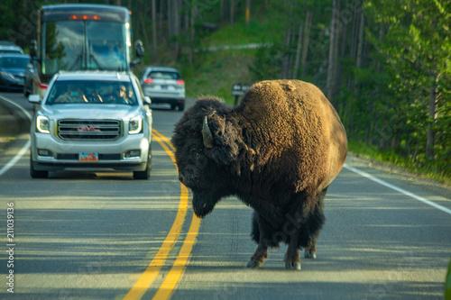 Fotobehang Bison Bison jam, Hayden Valley, Yellowstone National Park