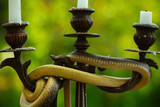 Avoid risk. Snake wrapped around candlestick on nature. Still life with candelabra and snake outdoor. Divinity and devil. Design art and natural decoration - 211055918