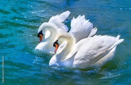 Fotobehang Zwaan Pair of swans