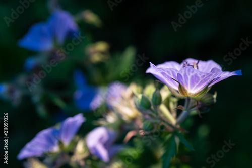 Wibrujący purpurowy dziki kwiat w backlit wieczór świetle