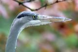 Grey Heron portrait - 211061585