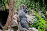 Strong Adult Black Gorilla - 211073720