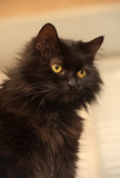 cat of the breed Chantilly Tiffany - 211090305