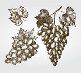Set of ink hand-drawn grapes. Vector illustration. Elements for design labels, packaging, cards. - 211093940