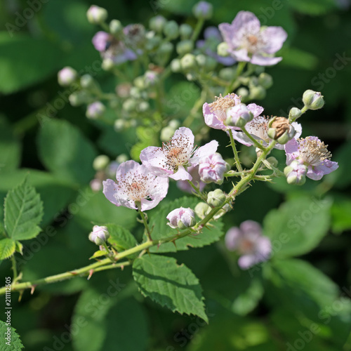 Blühende Brombeeren, Rubus sectio Rubus - 211112505