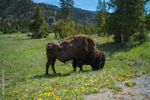 Fotobehang Bison Yellowstone National Park