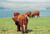 Red cows in Scotland