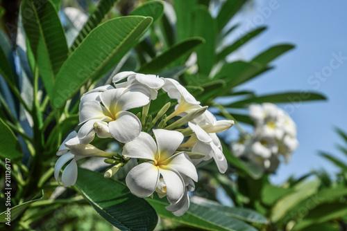 Plexiglas Plumeria Group of yellow and white flowers (Frangipani, Plumeria)