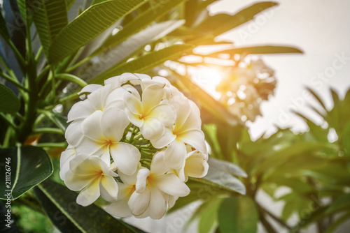 Fotobehang Plumeria Group of yellow and white flowers (Frangipani, Plumeria)