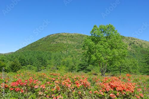 Fotobehang Azalea 湯の丸高原のレンゲツツジ