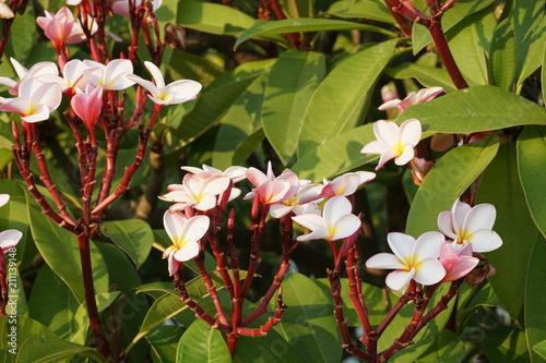 Plexiglas Plumeria pink plumeria leelawadee in park thailand