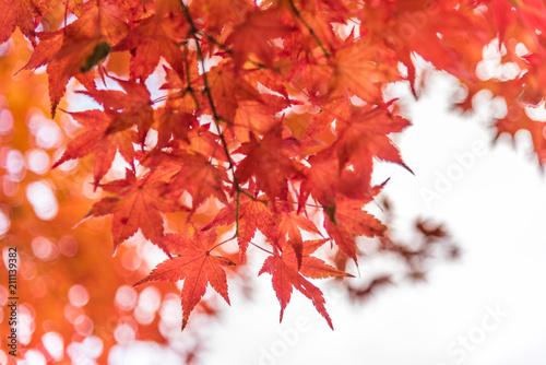 Plexiglas Rood Japan Maple leaf in Autumn Season