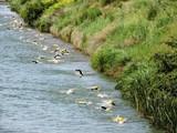 Natación en las aguas del Canal de Castilla