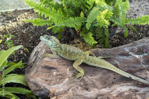 Fototapeta Lizard on log