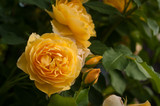 Yellow roses on a bush in a summer garden. Close-up of garden rose in the summer sunny day. - 211149363