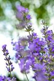 Lavendel IV