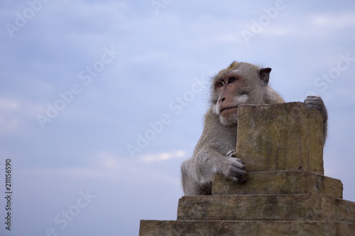 Fotobehang Aap Long tailed macaque monkey in Uluwatu temple,bali,inodnesia