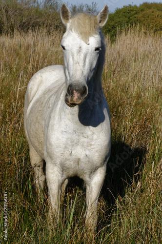 Fotobehang Paarden Cheval camarguais
