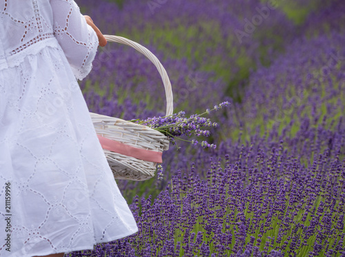 a girl dressed in white gathers a basket of lavender flowers from a field