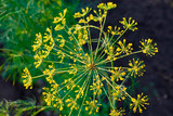 Dill plant and flower as agricultural background. Yellow field of fresh green fennel - 211160145