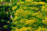 Yellow dill plant and flower as agricultural background sunset. Fresh green fennel - 211160376