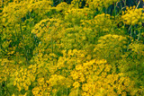 Yellow dill plant and flower as agricultural background sunset. Fresh green fennel - 211160535