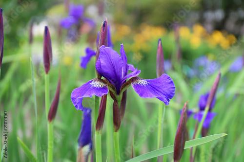 Fotobehang Iris Beautiful blossoming purple or blue iris in summer garden
