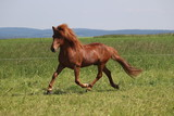 Islandpferd Hengst - 211178542