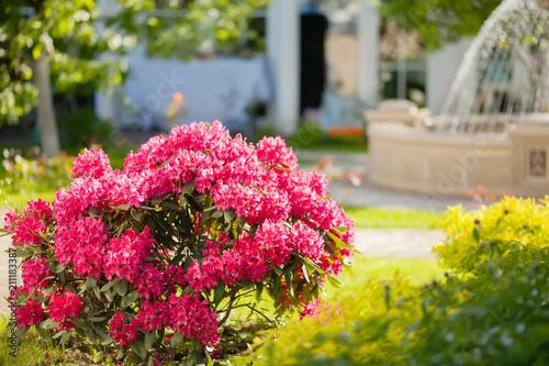 Fotobehang Azalea Pink azalea bush and fountain in botanical garden
