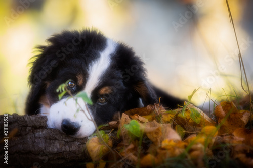 Berner Sennenhund Welpe - 211183928