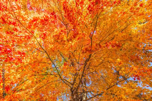 Plexiglas Herfst Japan Maple leaf in Autumn Season