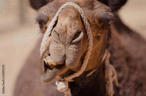 Close up of a Camel face