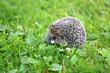 Photo of a macro funny hedgehog