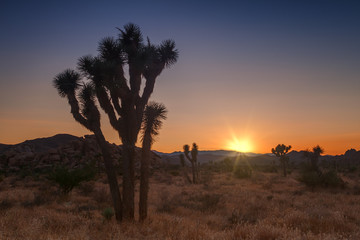 Joshua tree park at sunset, in Mojave Desert, California