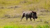 African Warthog Walking - 211211930
