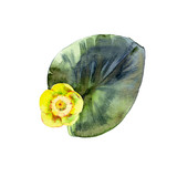 Isolated watercolor yellow water lily and leaf.