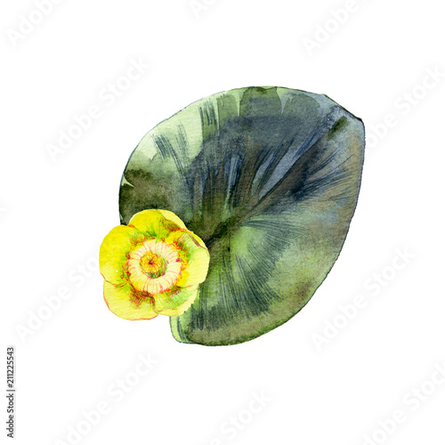 Fototapeta Isolated watercolor yellow water lily and leaf.