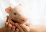 süßes Schweine Baby schaut nach links, Platz für Text  - 211241109