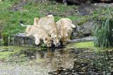 Löwen (Panthera leo) Captive, Deutschland, Europa