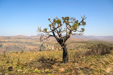 Tree Mpumalanga territory near Graskop. Blyde river canyon, South Africa