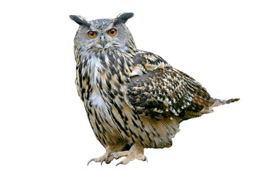 European eagle owl (Bubo bubo), isolated on white background