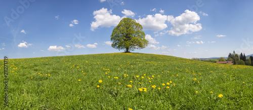 Große Linde als Einzelbaum - 211271719